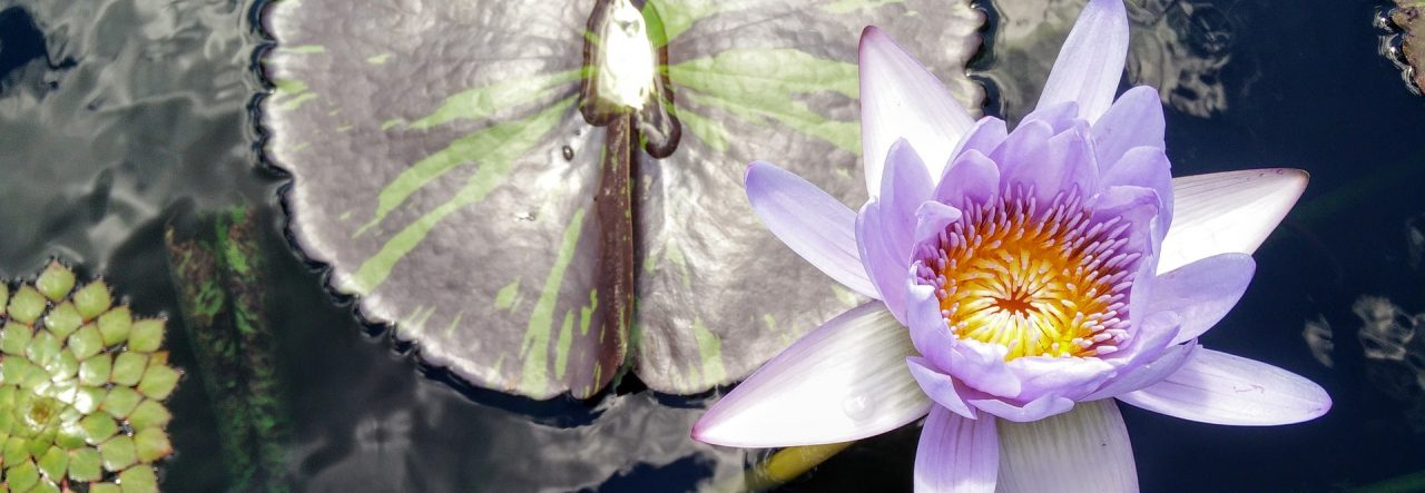 cropped-lotus-899579_1920.jpg